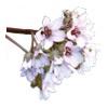 ユキノシタエキス(ベルゲニアリグラタ花エキス)